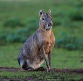 Patagonian Mara, patagonum de Dolichotis sont de grands parents des cobayes photo stock