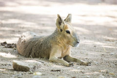 Patagonian mara resting at the ground Stock Photos