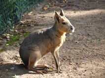 Patagonian mara, Wroclaw, Poland Stock Photos