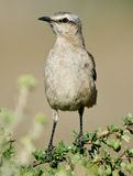 Patagonian Mockingbird. A Patagonian Mockingbird perched on a branch - Patagonia, Argentina Royalty Free Stock Image