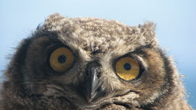 Patagonian Owl. Watching with its big eyes. Closeup in the wild Royalty Free Stock Photos