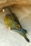 Patagonian Parrot Stock Photos