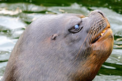 Patagonian Sea Lion Stock Images