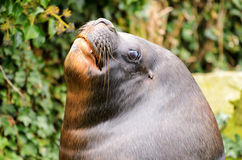 Patagonian Sea Lion Stock Photos