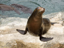 Patagonian Sea Lion Stock Image