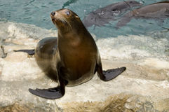 Patagonian Sea Lion Royalty Free Stock Photography