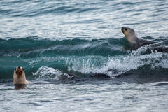 Patagonian sea lion on the beach Stock Images