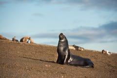 Patagonian sea lion on the beach Royalty Free Stock Photos