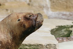 A Patagonian Sea Lion - Otaria flavescens Royalty Free Stock Photos