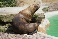 A Patagonian Sea Lion - Otaria flavescens Stock Photography