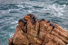 Patagonian Sea lion, Otaria flavescenson rocks in the Pacific, Peru Royalty Free Stock Images