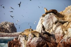 Patagonian Sea lion, Otaria flavescenson rocks in the Pacific, Peru Stock Images