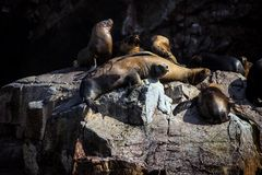 Patagonian Sea lion, Otaria flavescenson rocks in the Pacific, Peru Royalty Free Stock Photos