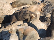 Patagonian sea lions. Colony of Patagonian sea lions looking to the camera Stock Photos