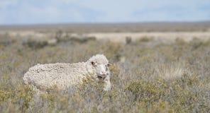Patagonian sheep Stock Images