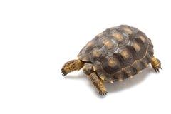Patagonian Tortoise Royalty Free Stock Photos