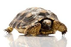 Patagonian Tortoise. (Geochelone donosobarrosi) isolated on white background Royalty Free Stock Image