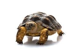 Patagonian Tortoise. (Geochelone donosobarrosi) isolated on white background Royalty Free Stock Photos
