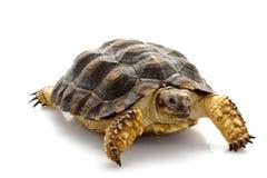 Patagonian Tortoise. (Geochelone donosobarrosi) isolated on white background Royalty Free Stock Images