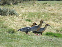 Patagonian Vögel Stockfoto