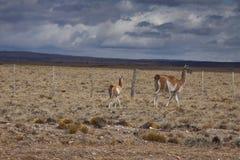 Patagonian wild lebende Tiere Lizenzfreies Stockfoto