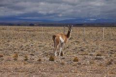 Patagonian wild lebende Tiere Lizenzfreie Stockfotografie