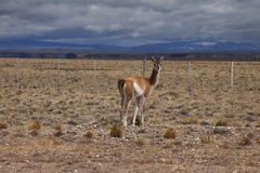 Patagonian Wildlife Royalty Free Stock Photography
