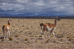 Patagonian Wildlife Stock Photography