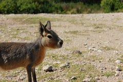 Patagonic kanin Arkivbilder