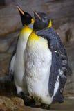 Patagonicus Aptenodytes βασιλιάδων penguin Στοκ φωτογραφίες με δικαίωμα ελεύθερης χρήσης