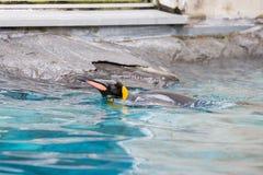 Patagonicus du Roi Penguin Aptenodytes nageant dans l'eau image stock