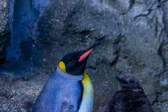 Patagonicus et poussin d'Aptenodytes de pingouin de roi prenant une balade images libres de droits