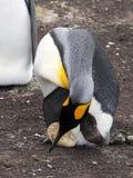Patagonicus Penguin Aptenodytes βασιλιάδων, που κρατά τα αυγά στα τεράστια πόδια της αποικίας, εθελοντικό σημείο, Νησιά Φόλκλαντ/ Στοκ εικόνες με δικαίωμα ελεύθερης χρήσης