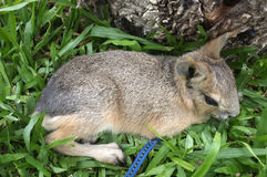 Patagonum del Dolichotis, patagón Mara, pequeño animal Fotos de archivo libres de regalías