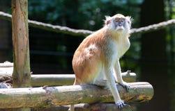 Patas猴子,赤猴patas 免版税库存图片