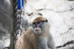 Patas猴子 免版税库存图片