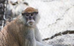 Patas猴子 免版税库存照片