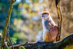 Patas-Affe auf Baumast Stockbild