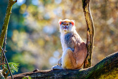 Patas-Affe auf Baumast Lizenzfreie Stockfotos