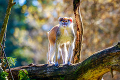 Patas-Affe auf Baumast Stockfotos