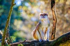 Patas-Affe auf Baumast Lizenzfreies Stockbild