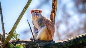 Patas-Affe auf Baumast Lizenzfreie Stockbilder