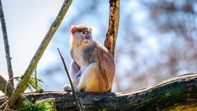 Patas-Affe auf Baumast Stockfotografie
