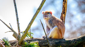Patas-Affe auf Baumast Lizenzfreies Stockfoto