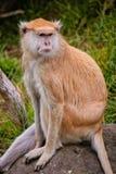 Patas-Affe auf einem Felsen Lizenzfreie Stockbilder