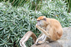 Patas-Affe, der auf einem Felsen sitzt Stockbild