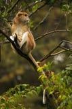 Patas-Affe, der in einem Baum sitzt Lizenzfreie Stockfotografie