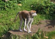 Patas-Affe, Erythrocebus patas Lizenzfreie Stockfotografie