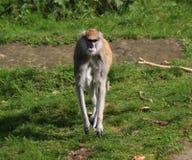 Patas-Affe, Erythrocebus patas Stockfoto