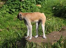 Patas-Affe, Erythrocebus patas Stockfotografie